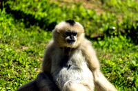 Female White-cheeked Gibbon in warmth of Spring