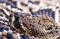 Rattle Snake With Eye Open