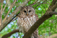 Barred Owl Photograph