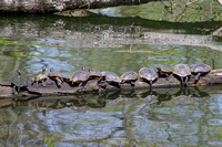 Eleven Red-eared Sliders on log in waters of Radnor Lake