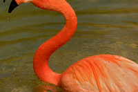 Elegant caribbean pink flamingo in water neck curved up