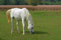 Serenity of White Horse grazing on farm
