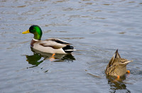 Male Mallard Duck with Female Dabbling