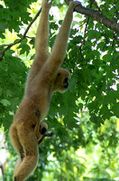 White-cheeked Gibbon baby enjoying the ride on mom