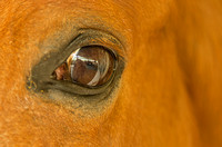 Soft brown horse brown eye close up