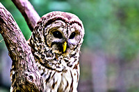 Barred Owl Strix varia painterly
